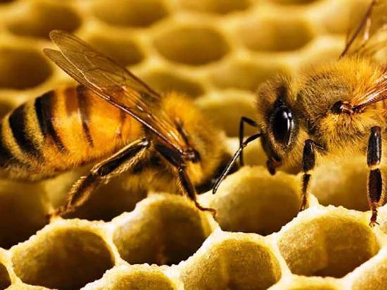 фізіологічні адаптації, приклади, бджоли
