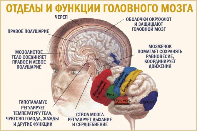 Головний мозок: будова і функції
