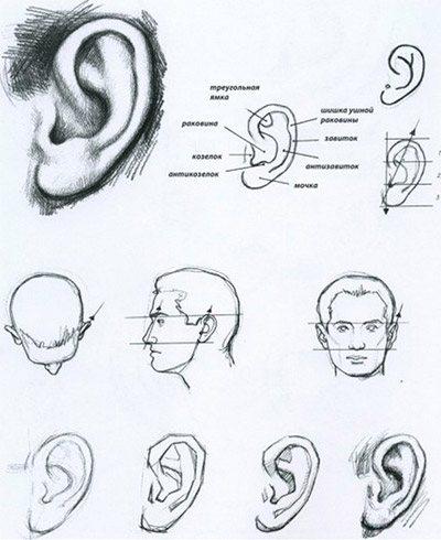 малювати вуха