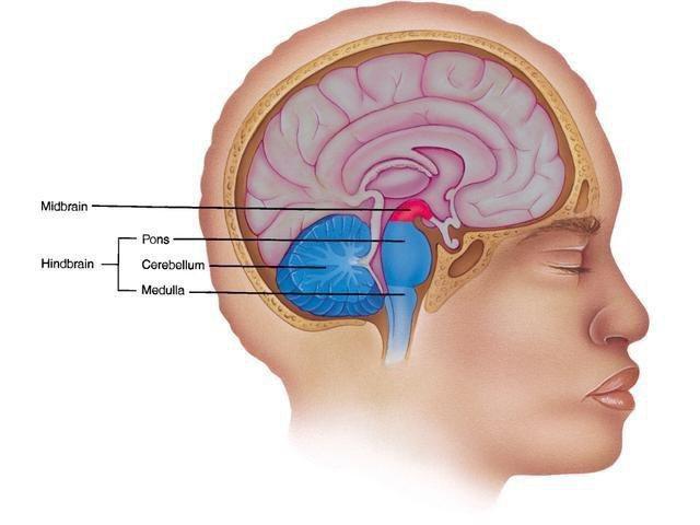 середній мозок людини функції