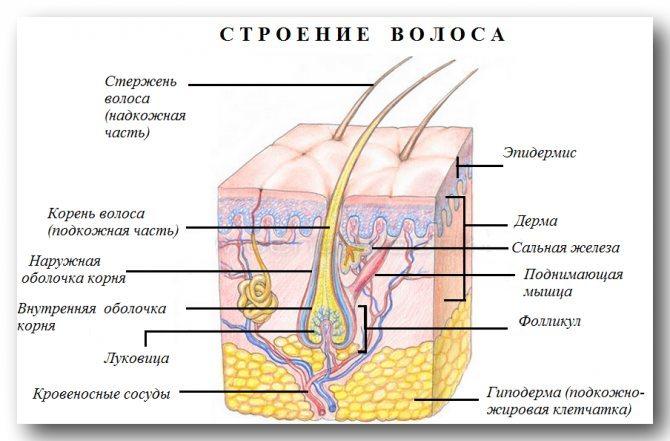 Будова волоса і дію мимовільного м'яз