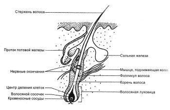 Будова волосяного фолікула